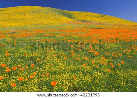 Poppies in full bloom at the Antelope Valley California Poppy Reserve near Lancaster California - stock photo