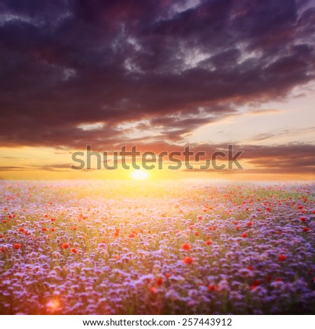 Poppies in summer sunset - stock photo