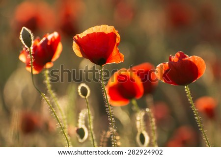 Poppies in summer time - stock photo