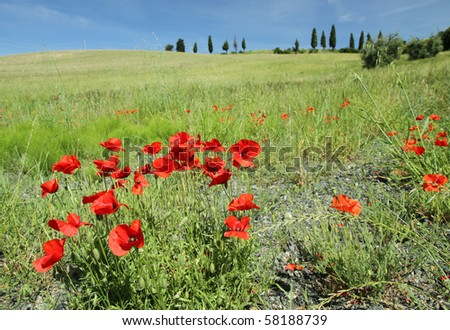 poppies in Tuscany - stock photo