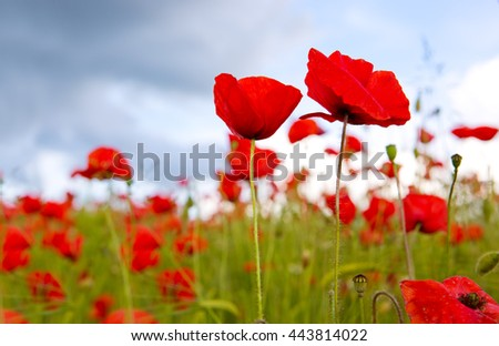 Poppies on blue sky background.