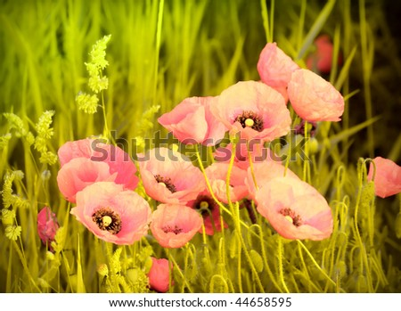 poppies on spring meadow - stock photo