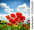Poppies on summer green field - stock photo