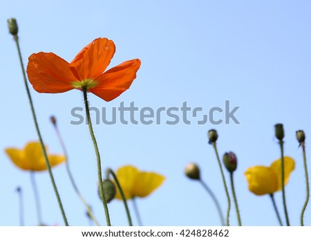 poppies under sunny sky