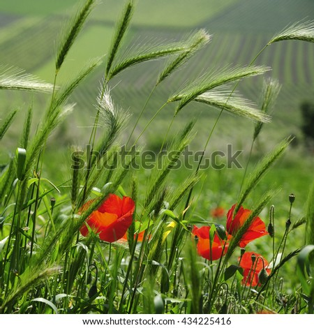 Poppies with vineyards on background