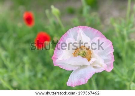 Poppy - stock photo