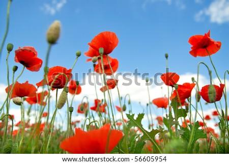 poppy against blue sky - stock photo