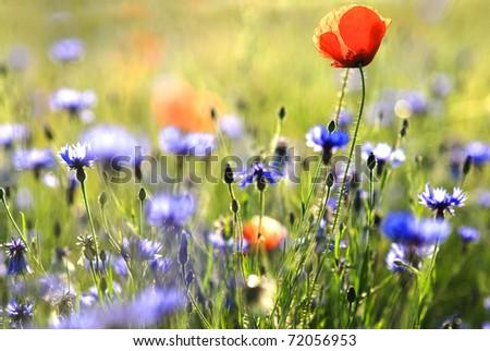 poppy and  cornflower - stock photo