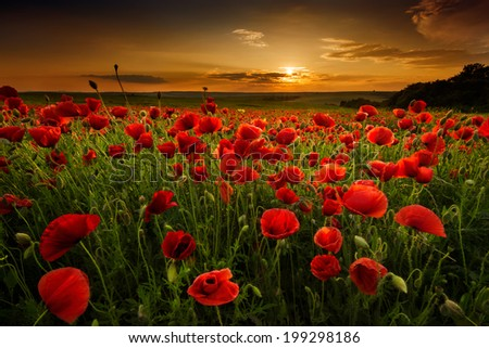 Poppy field at sunset - stock photo