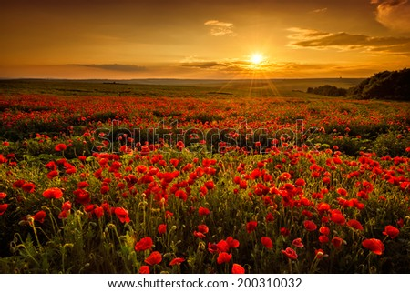 Poppy field at sunset  - stock photo