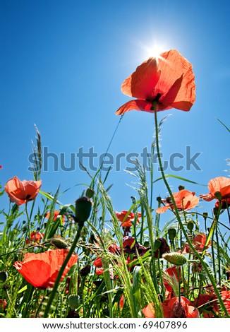 Poppy field background with sunlight - stock photo