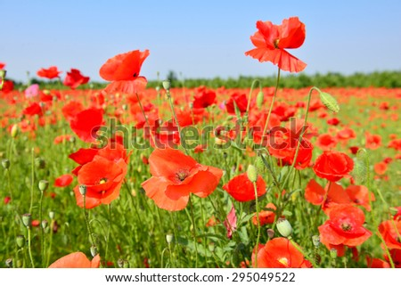 poppy field close up - stock photo