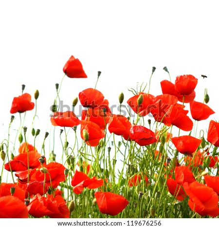 poppy field isolated - stock photo