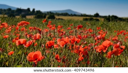 Poppy field. Poppy field, landscape with red poppy field. Beautiful poppy field. Landscape with poppy field and blue sky. Poppy field background. - stock photo