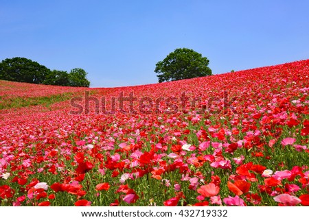 Poppy field/Poppy Hill
