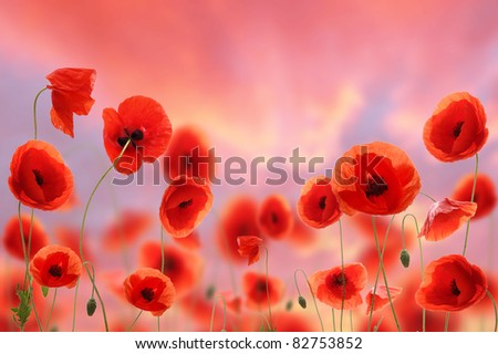 Poppy field with evening sky background - stock photo