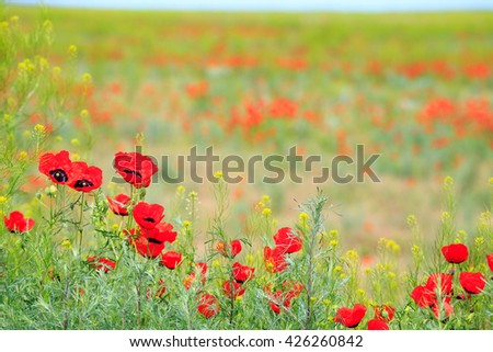 poppy field with mountain