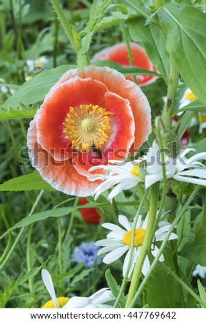 poppy flower and chamomile - stock photo