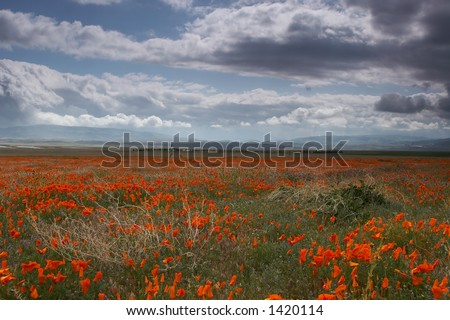 poppy flower filed with a cloudy sky - stock photo