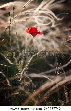 Poppy flower in the grass - stock photo