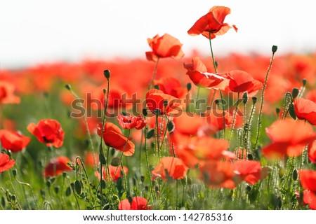 Poppy flower in the meadow (wild poppy flower) - stock photo