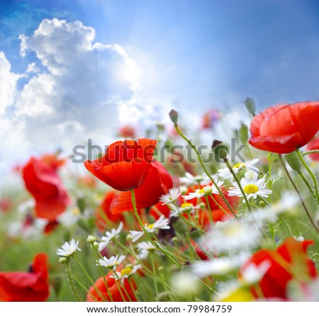 Poppy flower in the sky - stock photo