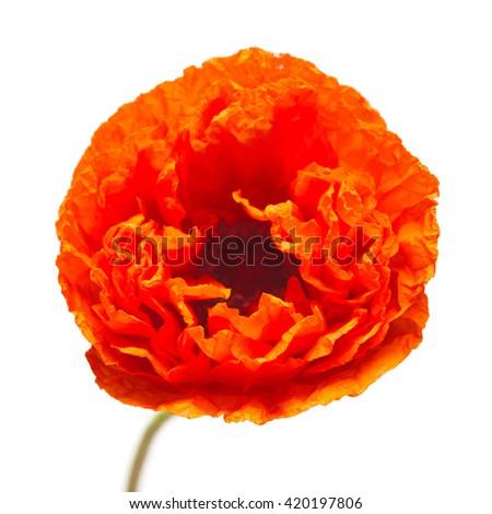 Poppy flower isolated on white background - stock photo