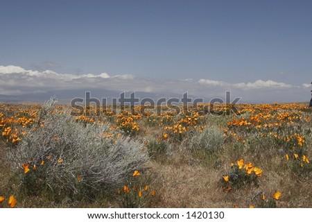 poppy flower meadow - stock photo