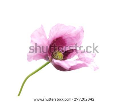 poppy flower on a white background - stock photo