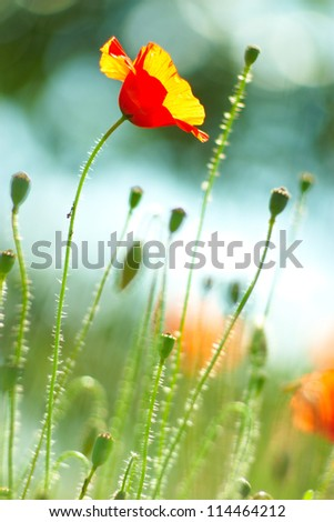 Poppy flower  on green background with sky view - stock photo