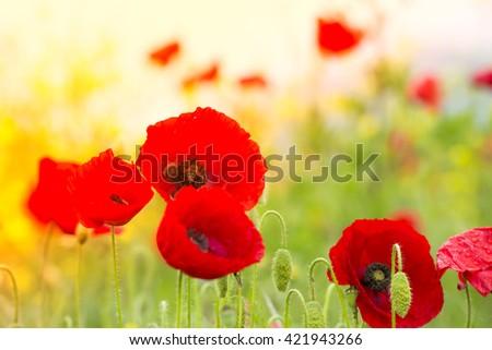 Poppy flowers - stock photo