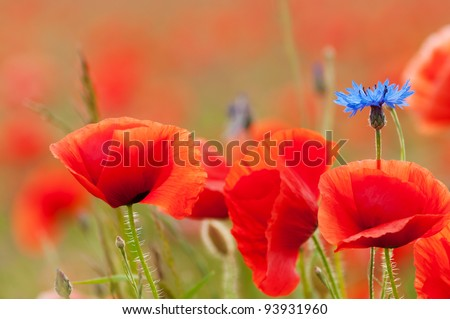 Poppy flowers and a cornflower on a field in summer - stock photo