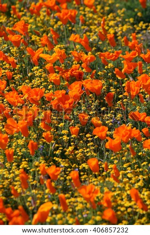 Poppy flowers and Action Daisy blossom in Antelope Valley Poppy Reserve in Antelope Valley, California.