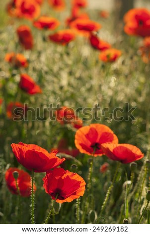 poppy flowers blooming in morning - stock photo
