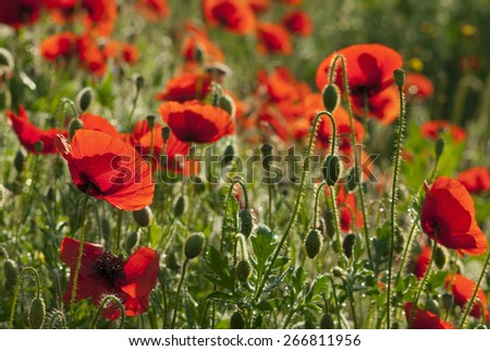 poppy flowers blooming in morning