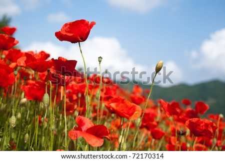 poppy flowers, buds and pods - stock photo