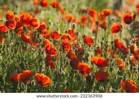 poppy flowers on a meadow - stock photo