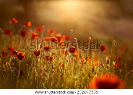 Poppy Flowers on Spring Meadow in warm evening Sunlight - stock photo