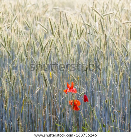 Poppy flowers with ble sky and clouds on the meadow - stock photo