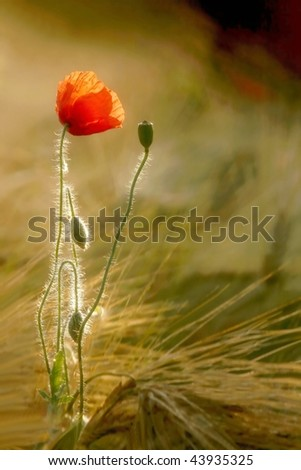Poppy in the field of wheat in the light of the rising sun. - stock photo