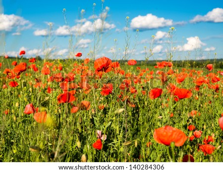 poppy on green field - stock photo