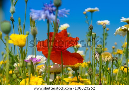 Poppy or red Papaver flower amidst white and yellow Daisies - stock photo