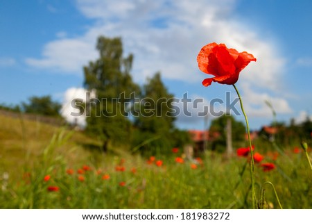 poppy seed flowering in front of blue sky - stock photo