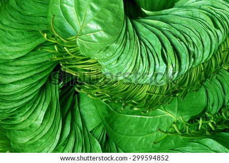 Popular edible betel leaf of Indian subcontinent - stock photo
