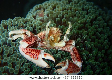 Porcelain Anemone Crab - stock photo