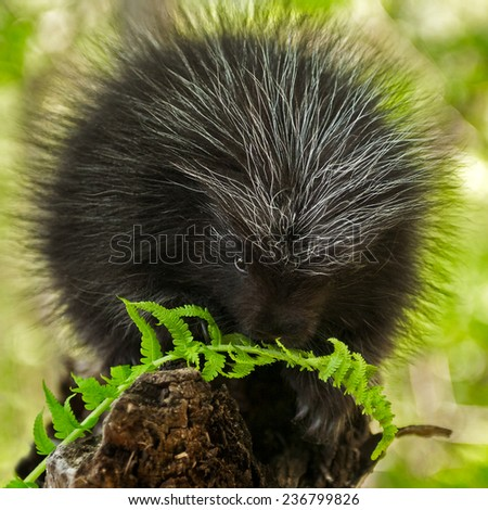Porcupette (Erethizon dorsatum) Chews on Fern - captive animal - stock photo