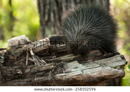 Porcupette (Erethizon dorsatum) on Branch - Baby Porcupine - stock photo