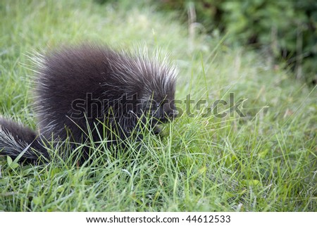 Porcupine along the road - stock photo