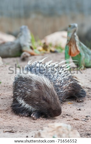 Porcupine and Green Iguana - stock photo