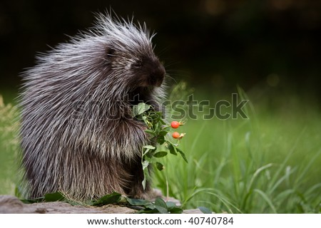 Porcupine eating berries. - stock photo